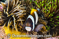 Wideband Anemonefish with eggs Photo - Gary Bell