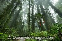 Dorrigo Rainforest in mist Photo - Gary Bell