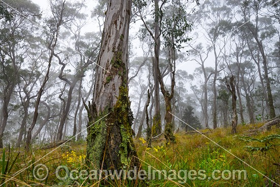 Snow gum forest cloaked in mist, on the Great Escarpment situated in Gondwana Rainforest, New England National Park, NSW, Australia. This rainforest is inscribed on the World Heritage List in recognition of its outstanding universal value. Photo - Gary Bell