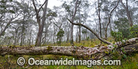 Snow Gums New England National Park Photo - Gary Bell
