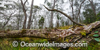 Snow Gums in mist Photo - Gary Bell