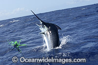 Blue Marlin on surface Photo - John Ashley