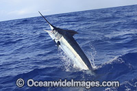 Indo-Pacific Blue Marlin Photo - John Ashley