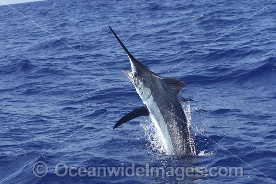 Indo-Pacific Blue Marlin (Makaira mazara), breaching on the surface after taking a bait. Also known as Billfish. Great Barrier Reef, Queensland, Australia.
