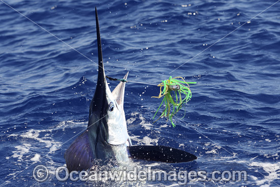 White Marlin (Kajikia albidus). This species is considered rare and usually found in deep blue water over 100m deep. Listed as Vulnerable on the IUCN Red List of Threatened Species.