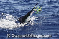 White Marlin photo