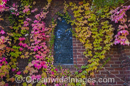 Autumn leaves on the Gostwyck Chapel, near Armidale, Northern Tablelands, New South Wales, Australia. Photo - Gary Bell
