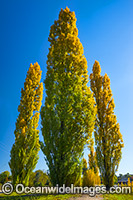 Poplar trees Armidale Photo - Gary Bell