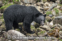 Black Bear in Canada photo