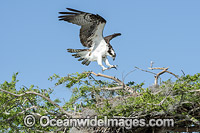 Osprey in nest Photo - Michael Patrick O'Neill