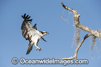 Osprey flying Photo - Michael Patrick O'Neill