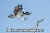 Osprey flying photo