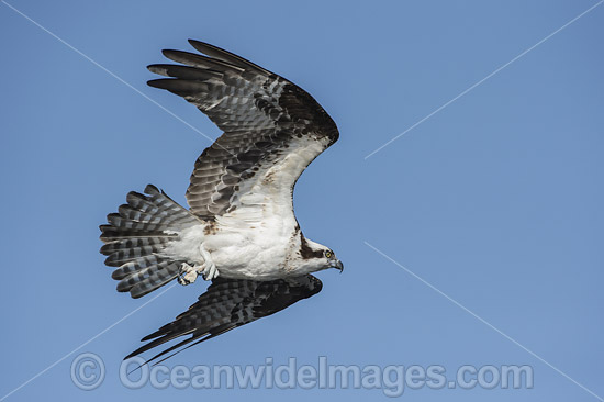 Osprey (Pandion haliaetus), in flight. Photo taken at Blue Cypress Lake, located in Indian River County, Florida, United States. Photo - Michael Patrick O'Neill