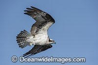 Osprey in flight Photo - Michael Patrick O'Neill