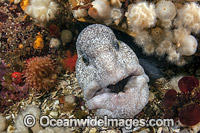 Wolf Eel Anarrhuchthys ocellatus photo