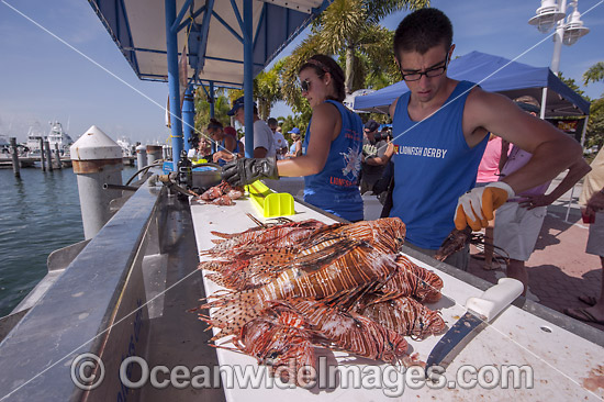 Volunteers from marine conservation organization REEF count, measure, clean and inspect Red Lionfish (Pterois volitans), an invasive species, caught by divers during a lionfish derby on August 17, 2013 in Palm Beach Shores, Florida, United States. Photo - Michael Patrick O'Neill