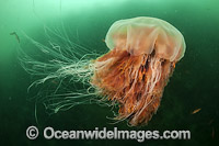 Lions Mane Jellyfish Canada photo