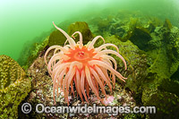 Fish-eating Anemone Canada Photo - Michael Patrick O'Neill