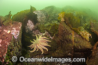 Sunflower Seastar Canada Photo - Michael Patrick O'Neill