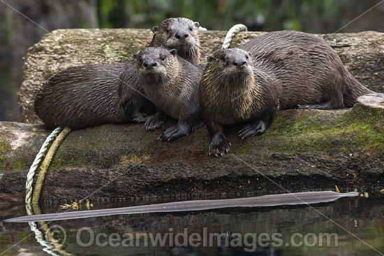 North American River Otters (Lontra canadensis), resting on a log in God's Pocket Provincial Park. Situated offshore Vancouver Island, British Columbia, Canada. Also known as Northern River Otter and Common Otter.