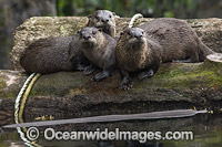 North American River Otters photo