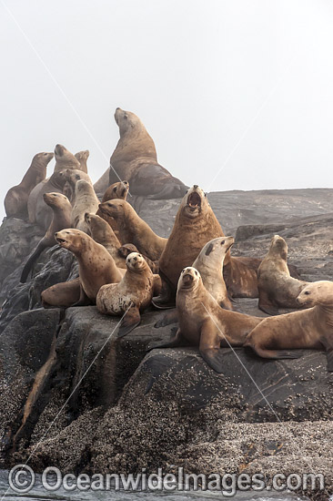 Steller Sea Lions (Eumetopias jubatus), resting on a rocky island north of Vancouver Island, British Columbia, Canada. Also known as Northern Sea Lion and Stellar Sea Lion. Classified as Endangered Species on the IUCN Red List. Photo - Michael Patrick O'Neill