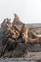 Steller Sea Lion Canada Photo - Michael Patrick O'Neill