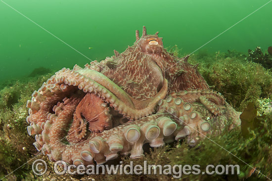 Giant Pacific Octopus (Enteroctopus dofleini). photo taken near Browning Wall, Vancouver Island, British Columbia, Canada. Photo - Michael Patrick O'Neill
