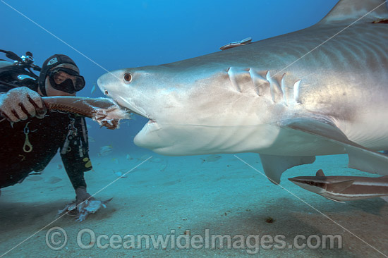 Diver hand feeding a Tiger Shark (Galeocerdo cuvier). Galeocerdo cuvier, in Federal waters offshore Jupiter, Florida, United States. Photo - Michael Patrick O'Neill