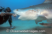 Diver feeding Tiger Shark Florida photo