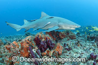 Lemon Shark Juno Beach Florida photo