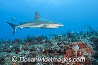 Caribbean Reef Shark Juno Beach Florida Photo - Michael Patrick O'Neill