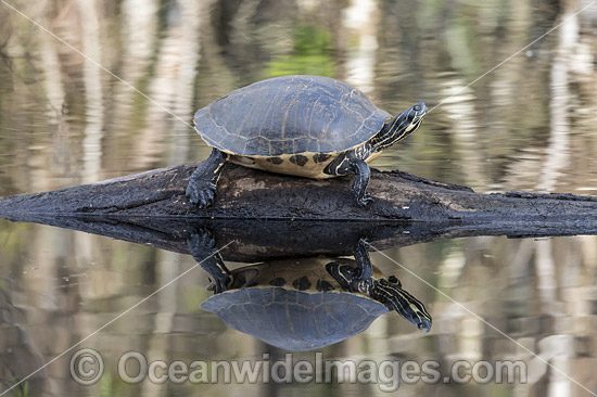 Suwannee River Cooter (Pseudemys concinna suwanniensis), resting on a log in Big Cypress National Preserve, situated in Collier County, Florida, United States. Photo - Michael Patrick O'Neill