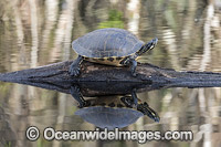 Suwannee Cooter Florida Photo - Michael Patrick O'Neill