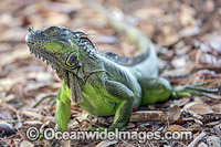 Green Iguana Photo - Michael Patrick O'Neill