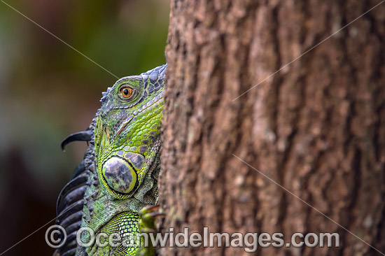 Green Iguana (Iguana iguana). An invasive species originally from South and Central America, which is now established in southern Florida, including in the Wakodahatchee Wetlands, a preserve in suburban Delray. United States. Photo - Michael Patrick O'Neill