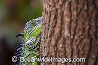 Green Iguana Florida Photo - Michael Patrick O'Neill