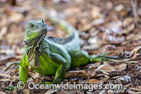 Green Iguana USA Photo - Michael Patrick O'Neill