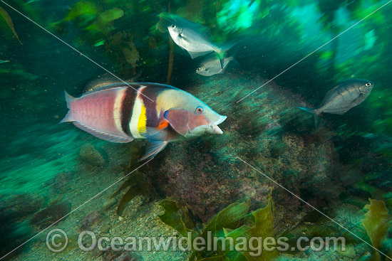 Sandager's Wrasse (Coris sandeyeri). Also known as King Wrasse. Poor Knights Islands Marine Reserve, situated off the east coast of North Island, New Zealand, Pacific Ocean. Photo - Justin Gilligan