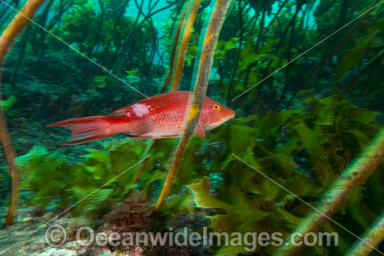 Red Pigfish (Bodianus unimaculatus). Poor Knights Islands Marine Reserve, situated off the east coast of North Island, New Zealand, Pacific Ocean. Photo - Justin Gilligan