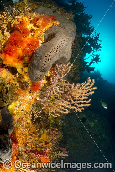 Temperate reef scene, Sea Sponges and Gorgonian Corals. Poor Knights Islands Marine Reserve, situated off the east coast of North Island, New Zealand, Pacific Ocean. Photo - Justin Gilligan