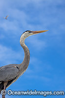 Great Blue Heron Ardea herodias photo