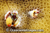 Coral Hermit Crab photo