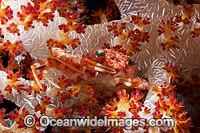 Spider Crab in Alcyonarian Soft Coral photo