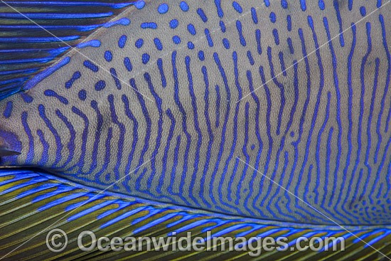 Close detail of a Big-nose Unicornfish (Naso vlamingii). Found throughout the Indo-West Pacific, including the Great Barrier Reef, Australia. A geographical colour variation does occurs. Photo was taken at the Fijian Islands.