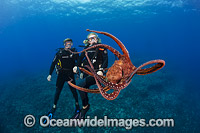 Divers with Day Octopus Photo - David Fleetham