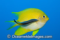 Golden Damsel cleaned by wrasse Photo - David Fleetham