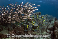 Schooling Salema Galapagos Islands Photo - David Fleetham