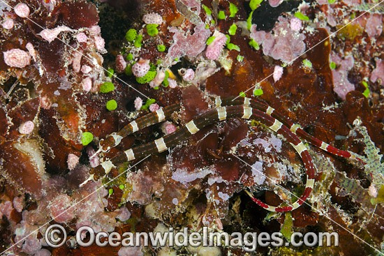 Brown-banded Pipefish (Corythoichthys amplexus), on a reef off the island of Kadavu, Fiji. Photo - David Fleetham