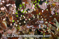 Brown-banded Pipefish Fiji photo